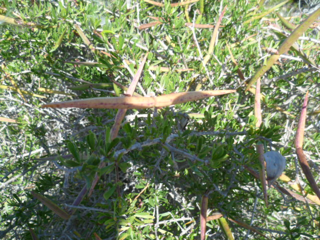 Periploca laevigata subsp. angustifolia Graine17