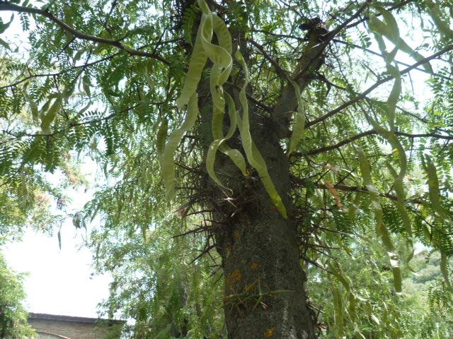 Gleditsia triacanthos [Identification arbre] Grenad22