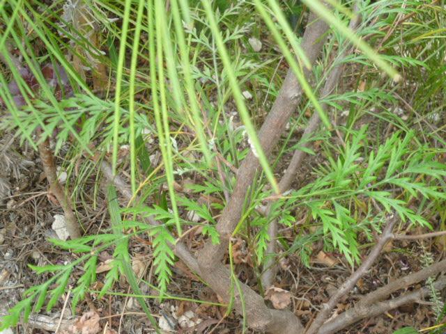 Grevillea robusta Grevil16