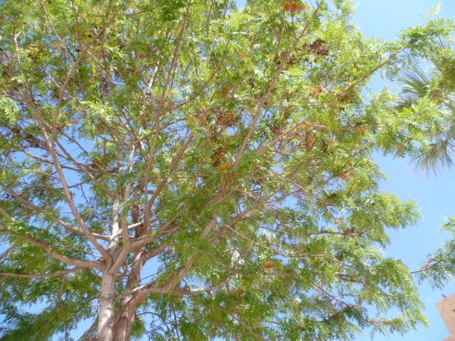 Grevillea robusta Grevil18