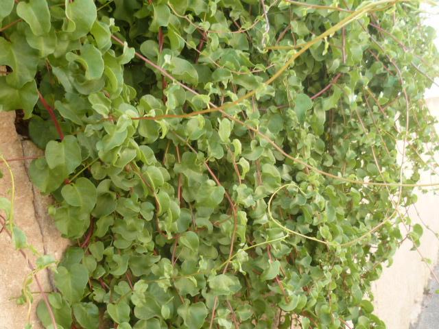 Anredera cordifolia [Identification grimpante] Grimpa12