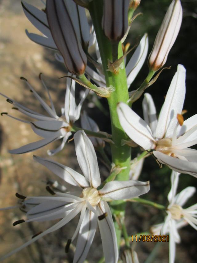 Asphodelus cerasiferus - asphodèle cerise Guarda11