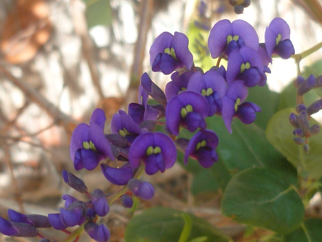 Hardenbergia violacea - Page 2 Harden11