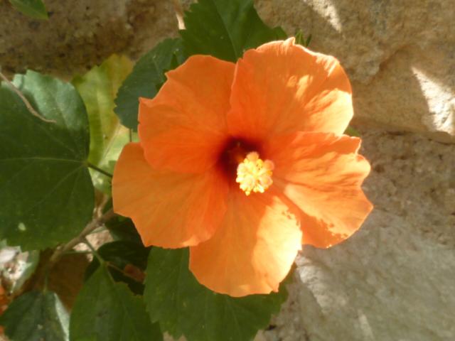 Hibiscus rosa-sinensis et hybrides - conseils Hibisc16