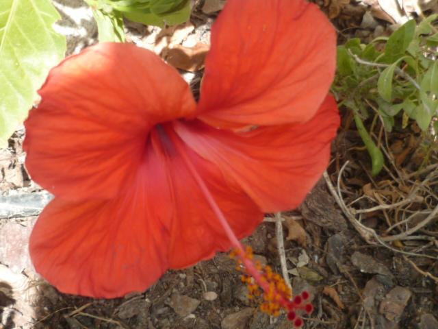 Hibiscus rosa-sinensis et hybrides - conseils Hibisc17
