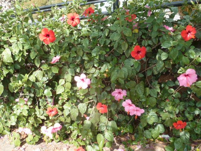 Hibiscus rosa-sinensis et hybrides - conseils - Page 2 Hibisc19