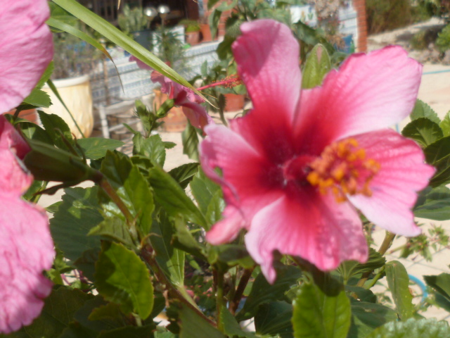 Hibiscus rosa-sinensis et hybrides - conseils - Page 2 Hibisc20