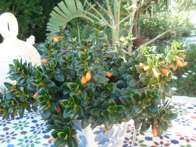Nematanthus strigillosus (= Hypocyrta glabra) - plante poisson rouge Hypocy10