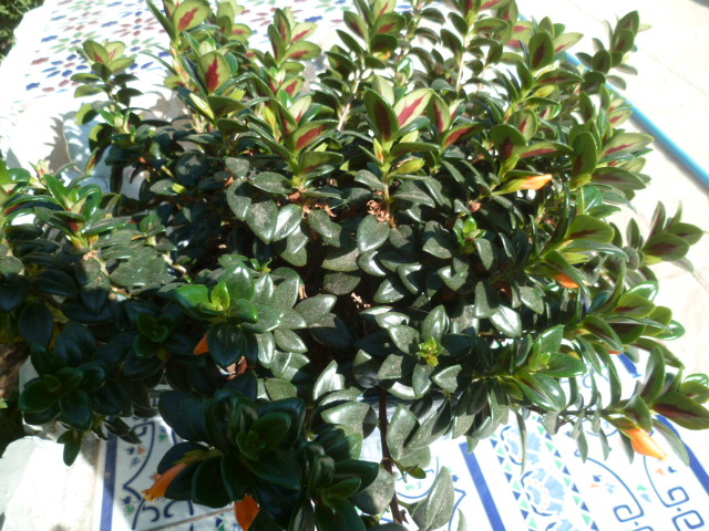 Nematanthus strigillosus (= Hypocyrta glabra) - plante poisson rouge Hyporc11
