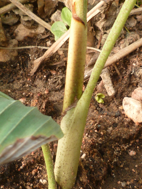 Identification palmier Identi16