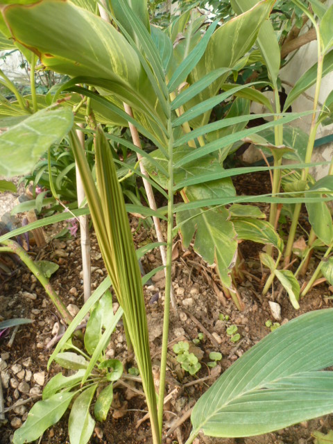 Identification palmier Identi17