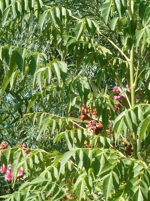 Identification  Arbuste = Melia Identi18