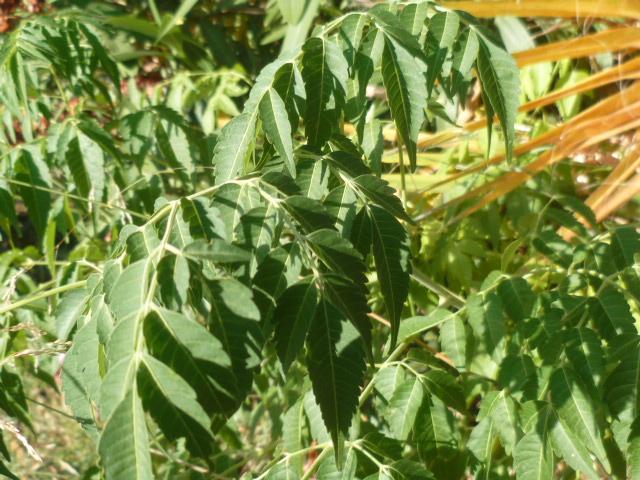 Identification  Arbuste = Melia Identi19