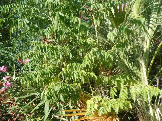 Identification  Arbuste = Melia Identi20