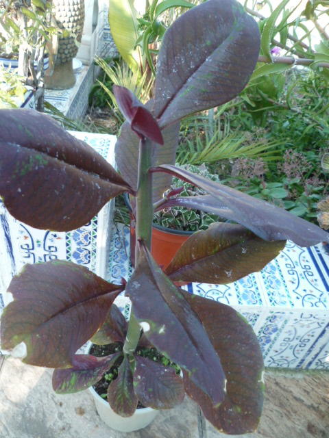 Synadenium grantii ( = Euphorbia umbellata) - [identification] Inconu13