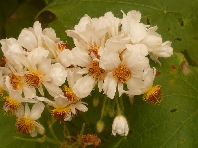Sparmannia ? [identification à suivre] Inconu24