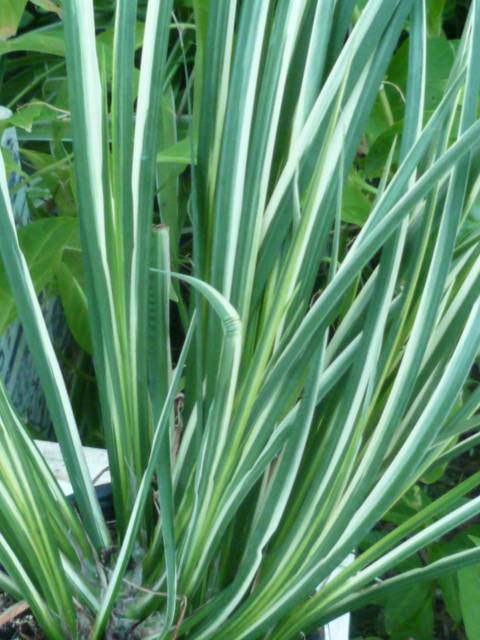 Identification = Acorus variegata Inncon16