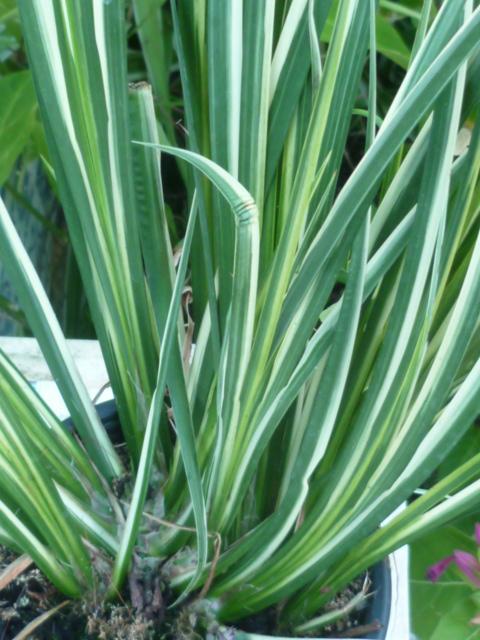 Identification = Acorus variegata Inncon17