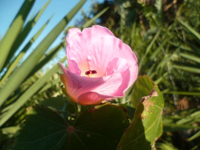 Nouvelle présentation d'une plante inconnue, au jardin de Michou Inncon19