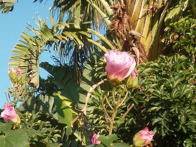Nouvelle présentation d'une plante inconnue, au jardin de Michou Inncon20