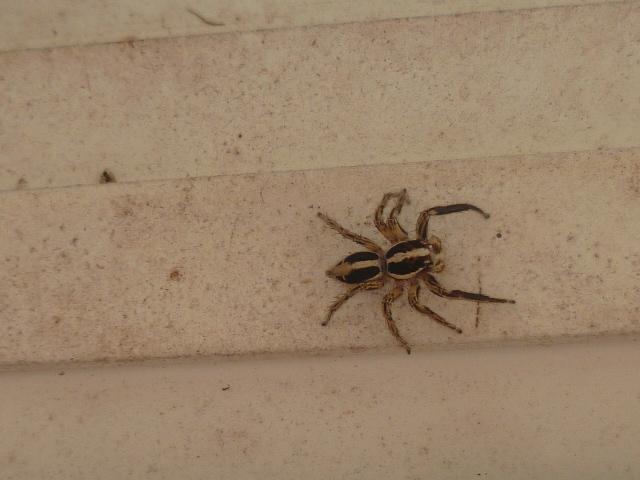 les 8 pattes - araignées et compagnie - Page 24 Insect12