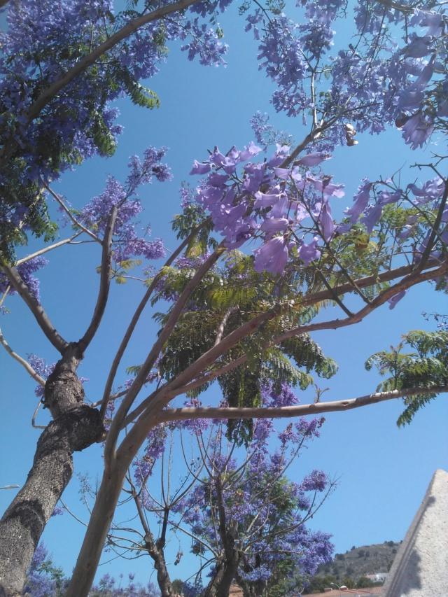 Jacaranda mimosifolia - Page 3 Jacara11