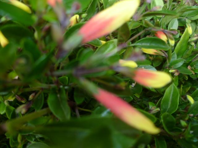 Justicia floribunda (= Justicia pauciflora) Jacobi10