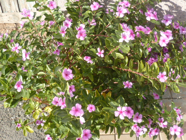 Catharanthus roseus - pervenche de Madagascar Jardin17