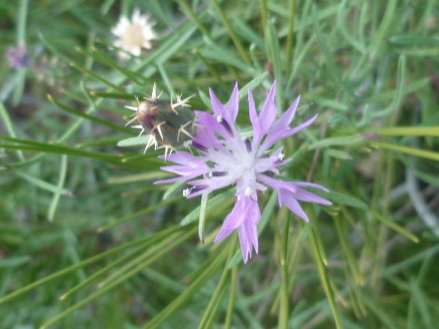 Centaurea aspera ssp. stenophylla - [identification] Jardin23