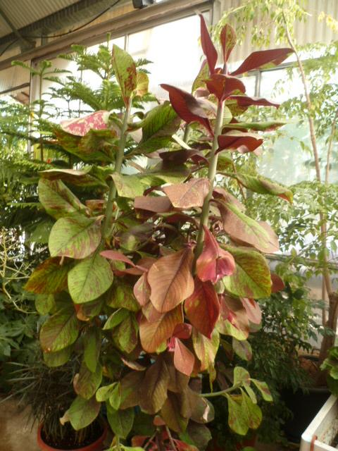 Euphorbia umbellata (= Synadenium umbellatum) - Page 3 Jardin24