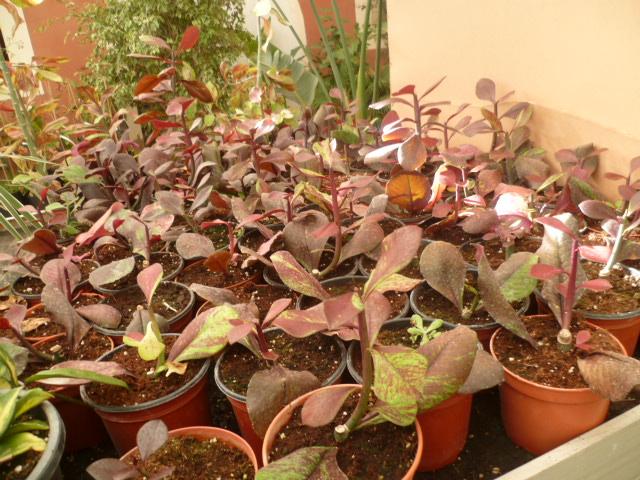 Euphorbia umbellata (= Synadenium umbellatum) - Page 3 Jardin26