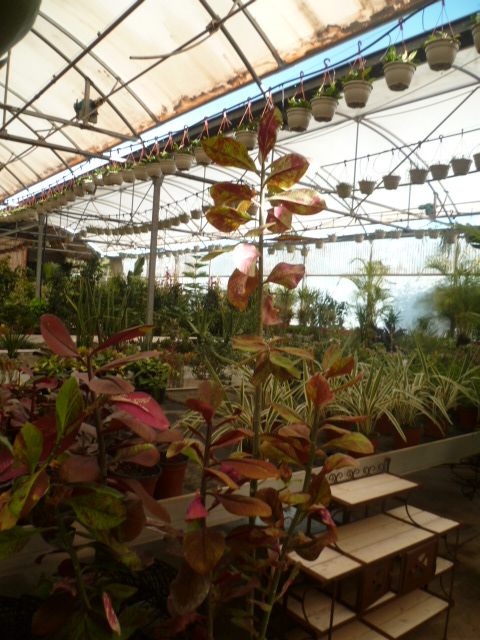 Euphorbia umbellata (= Synadenium umbellatum) - Page 3 Jardin27