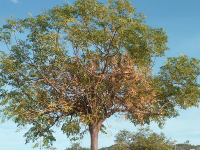 Melia azedarach 'Umbracullifera' Jardin28