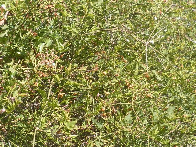 Jasminum polyanthum Jasmin11