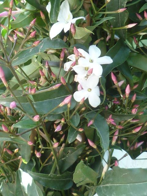 Jasminum polyanthum Jasmin12
