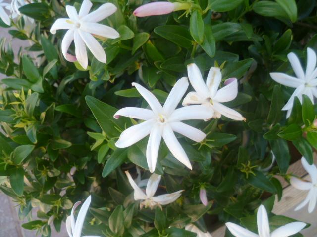 Jasminum multiflorum - jasmin des haies Jasmin13