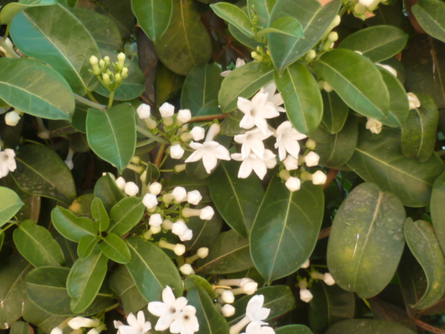 Stephanotis floribunda - jasmin de Madagascar - Page 2 Jasmin14