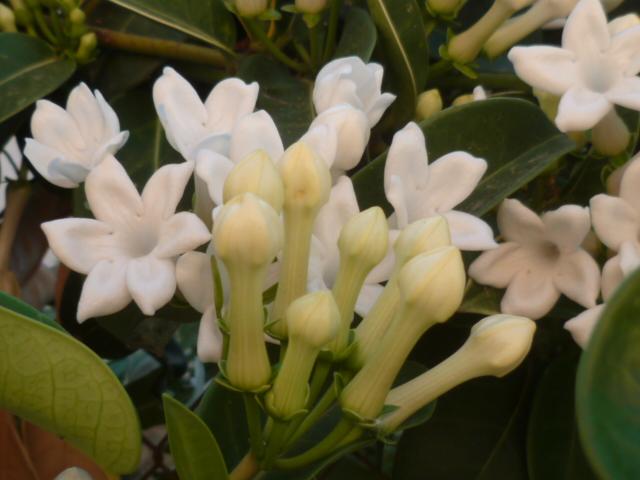 Stephanotis floribunda - jasmin de Madagascar - Page 2 Jasmin15
