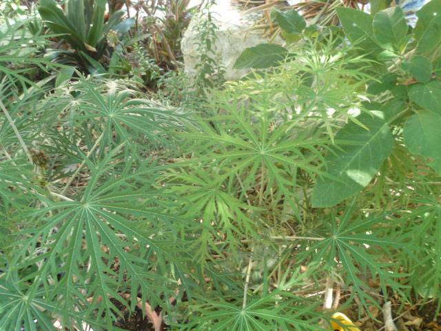 Jatropha multifida Jatrop18