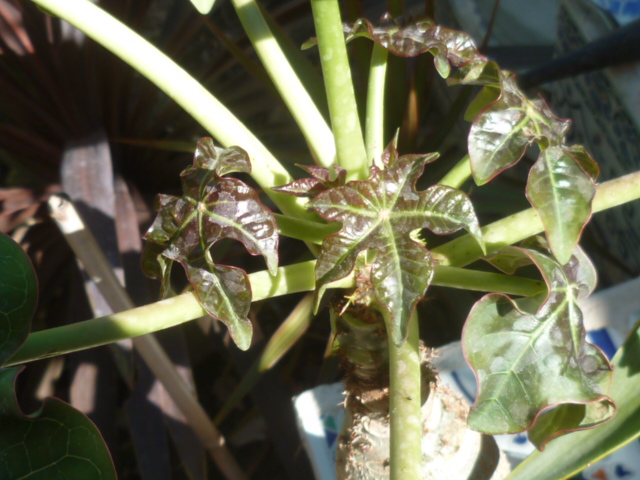 Jatropha podagrica - Page 2 Jatrop23