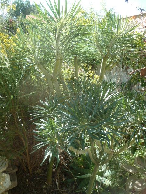 Kleinia neriifolia (= Senecio kleinia) - Page 3 Justic15