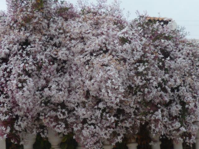 Jasminum polyanthum Kalanc15