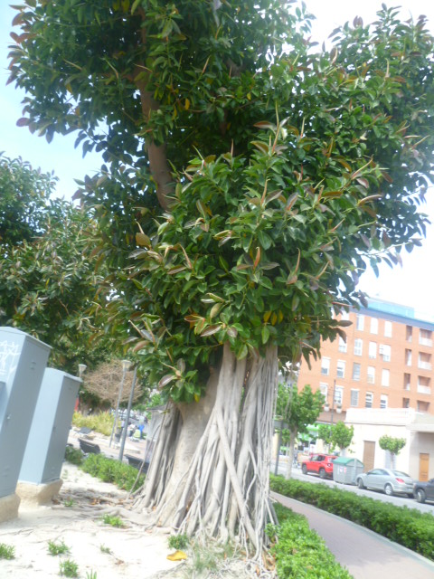 Ficus elastica - caoutchouc - Page 2 Kalanc18