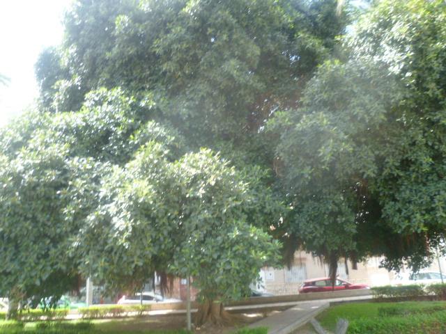Ficus elastica - caoutchouc - Page 2 Kalanc19