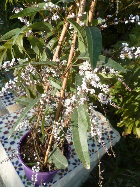 Hardenbergia violacea - Page 2 Kalanc26