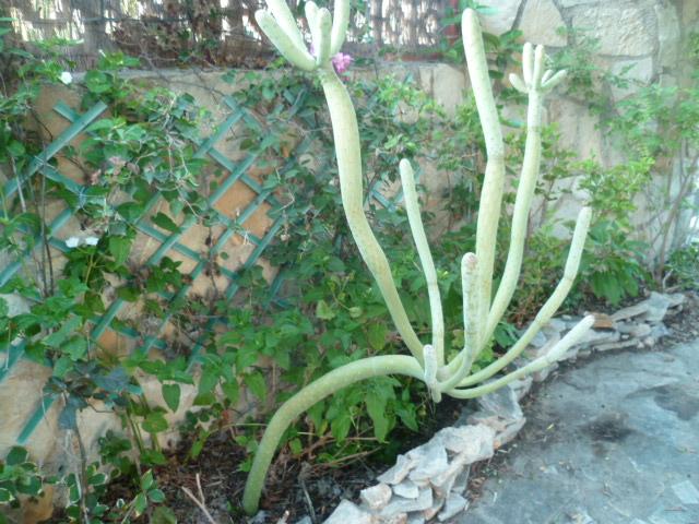 Kleinia neriifolia (= Senecio kleinia) - Page 3 Kleini14