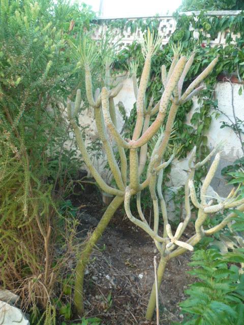 Kleinia neriifolia (= Senecio kleinia) - Page 3 Kleini15