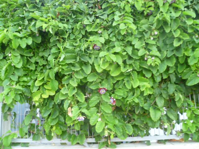 Passiflora quadrangularis et son hybride x Decaisnea La_vil10