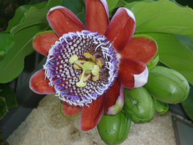 Passiflora quadrangularis et son hybride x Decaisnea La_vil12