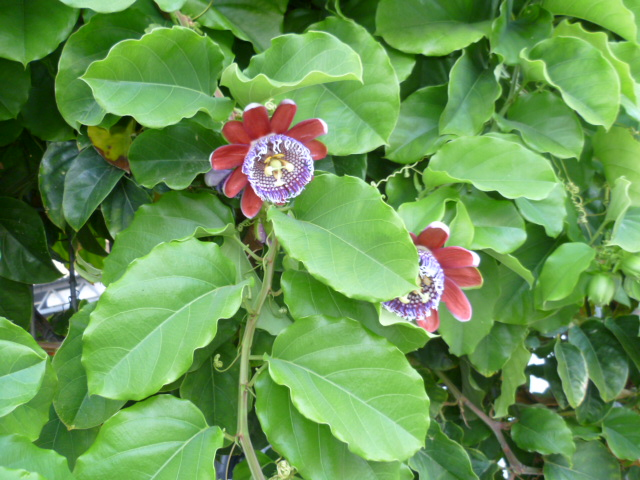 Passiflora quadrangularis et son hybride x Decaisnea La_vil13